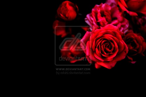 red_roses_by_mfuld